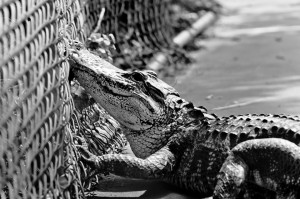 Gator trapped in neighborhood Basketball court in Florida