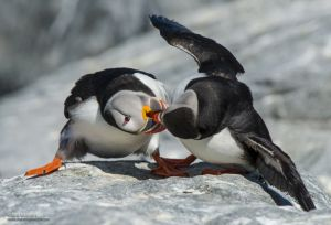 Puffin Takedown