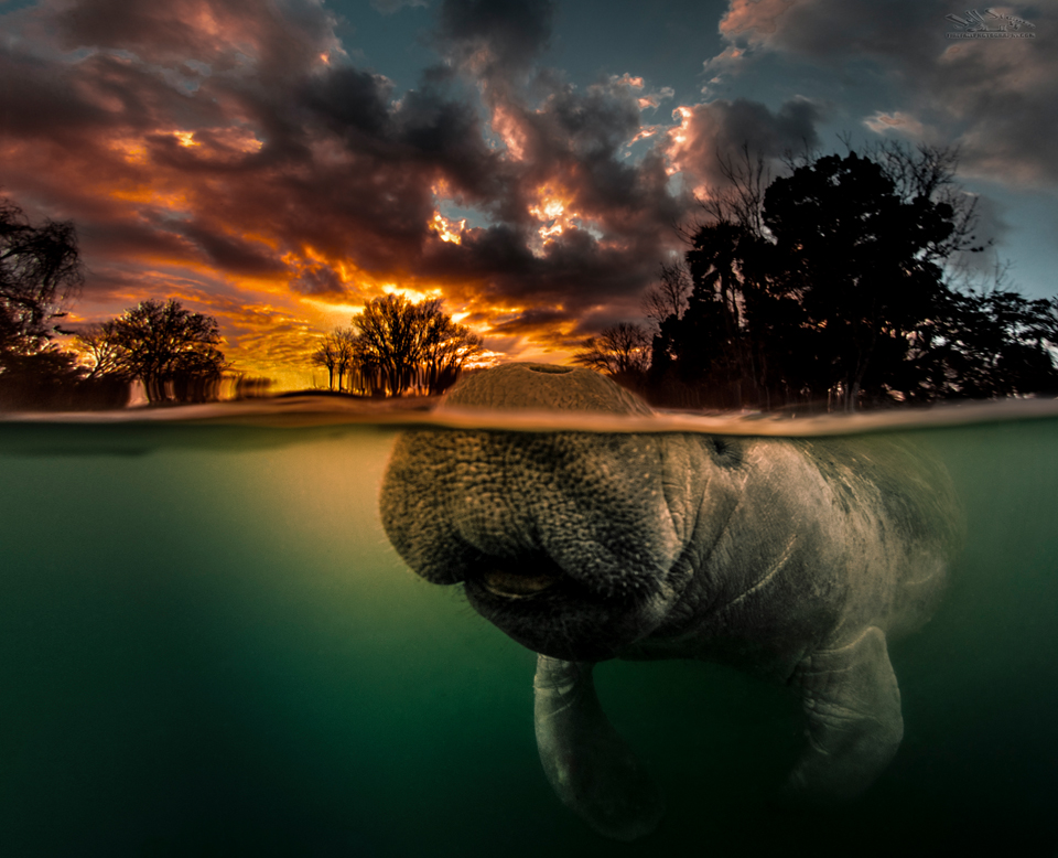 """""""Morning Rendezvouz"""" One of my most popular manatee images.  Read more about it at: https://www.firefallphotography.com/perceptions/"""