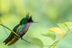 ' Out on a limb...'    Antillean Crested Hummingbird photographed in St. Lucia
