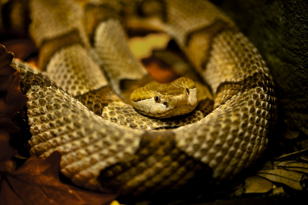 Photo of Copperhead at Central Florida Zoo Photo tips
