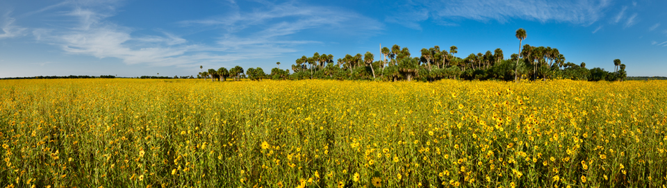 Photo of wildflowers sunflowers at Lake Jesup Florida. Photo tips and guide for Lake Jesup Wildflowers