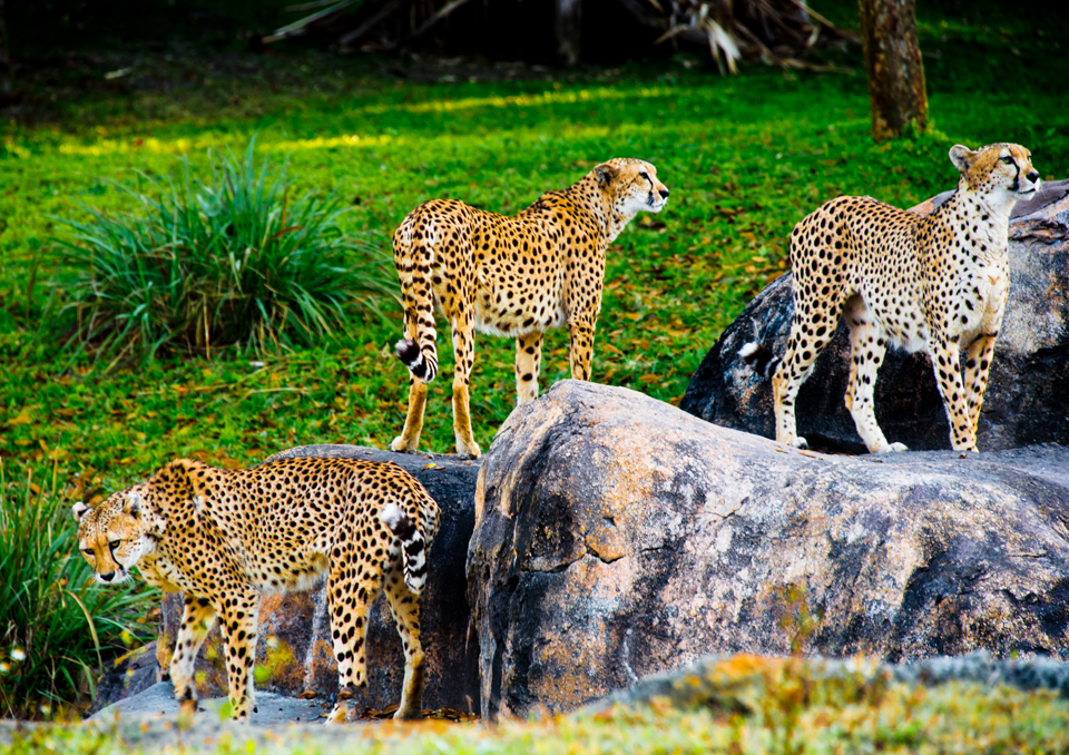 Cheetahs on the Kilimanjaro Safari