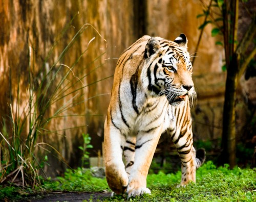 photo tips Animal Kingdom Asian Tiger photo Maharajah Trek