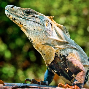 Iguana at Xcaret Park Mexico