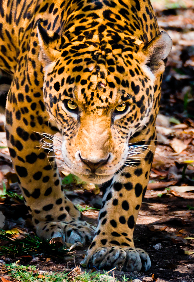 Jaguar at Xcaret Park in Cozumel Cancun Mexico