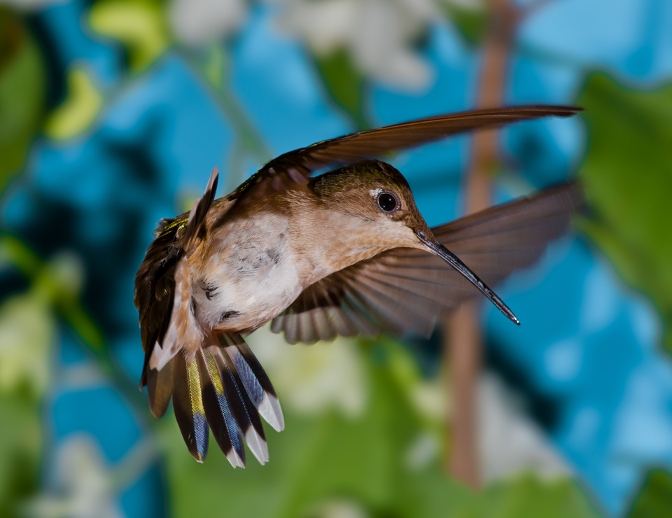 Hummingbird Heaven: Six Step Guide to Hummingbird Photography: Hummingbird Photo tips