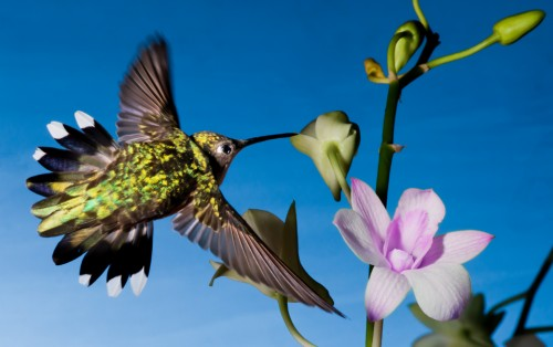 Female Ruby-Throated Hummingbird. Hummingbird Photography: A 6 Step Guide with Hummingbird Photo Tips