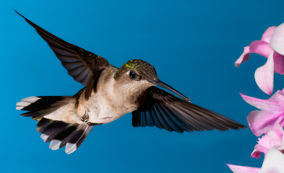 Female Ruby-Throated Hummingbird with ant in beak