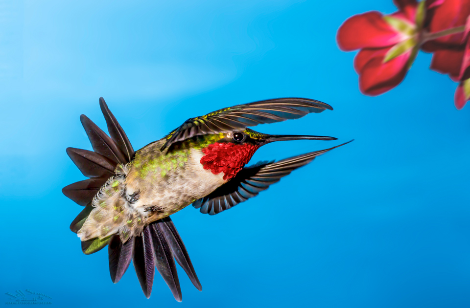 Hummingbird Photography:  A 6 Step Guide with Hummingbird Photo Tips
