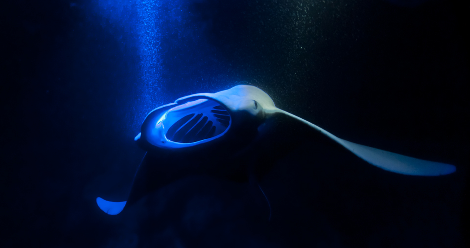 Swimming with Manta Rays: Tips & Photo Guide