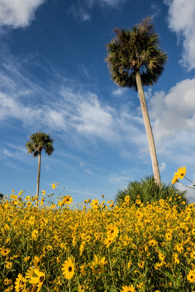 Lake Jesup Sunflower Photo Tips and Guide