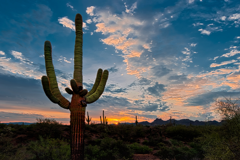 Sunrise in the Sonoran desert with Saguaro cactus