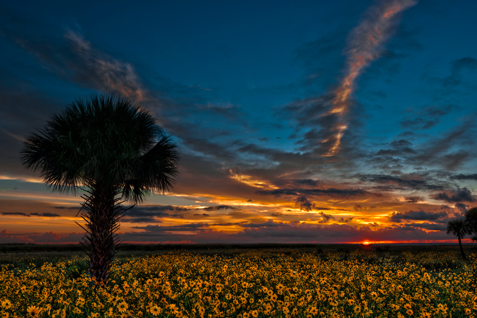 SUnflowers at Lake Jessup Florida
