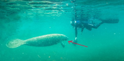 2014 Manatee Photography: Tips and Suggestions
