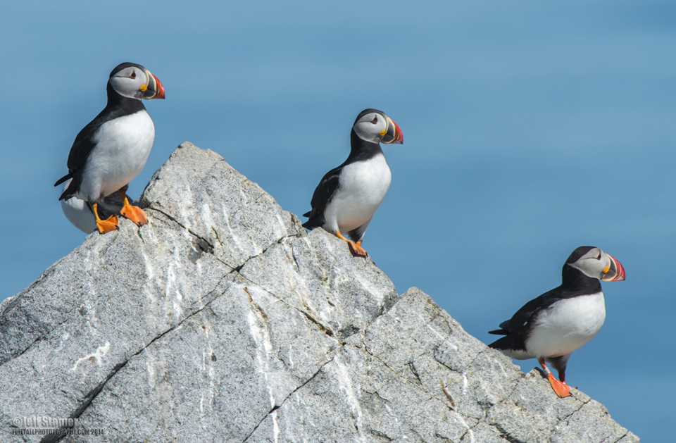 Peeking At Puffins Tips For Puffin Photo Tours On Machias Seal Island Firefall Photography