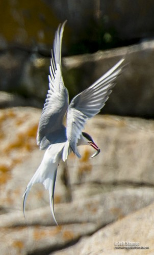 Arctic Terns had disappeared from the island but they have returned