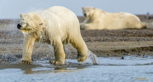 The Bears of Kaktovik:  Polar Bear Photography Tips & Tour Recap