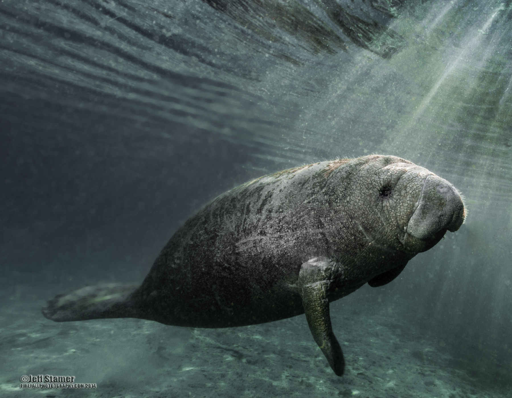 Manatee Photography: Tips and Guide
