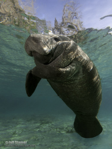 Photo Tips: Guide of How to get Great Photos of Manatees at Crystal River
