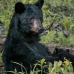 Black Bear Cub Photography