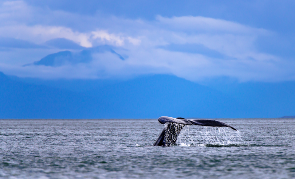 Humpback Whale Tail in Alaska's Inner Passage