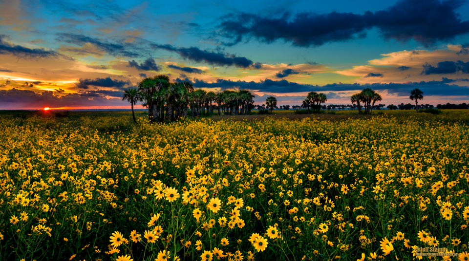 Tips for the Lake Jesup Marl Bed Flats Sunflower Bloom