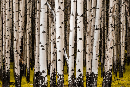 Overcast skies were perfect for photographing this stand of Aspens