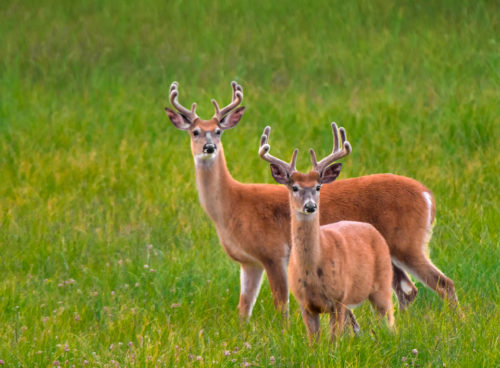 Bucks near Two Jack Lake in Banff National Park