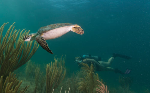 Story and photos from a chance encounter with a Florida Green Sea Turtle near Pompano Beach.