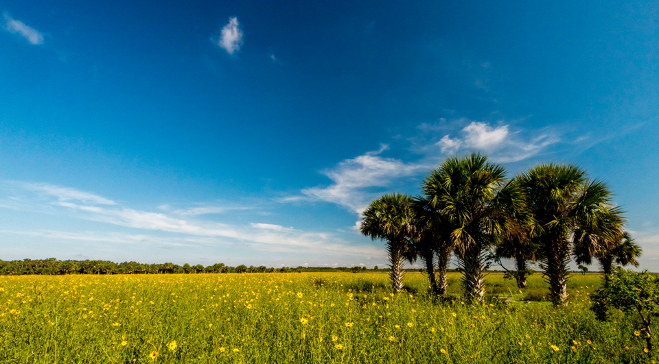 The Sunflowers are Blooming!  Lake Jesup Update: Sept. 27, 2016