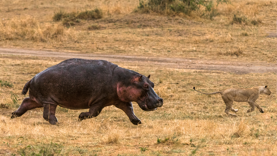 Hunter or Hunted?  A tale of the Hippo and the Lion Pride