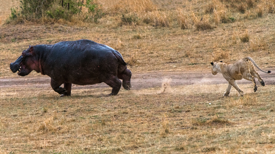 Check out the dust trail the hippo was throwing up!