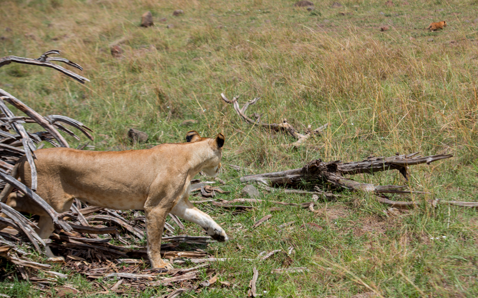 The Good Mother: A Lioness and her Cub Photo story by Jeff Stamer at Firefall Photography