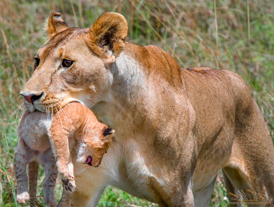 The Good Mother: A Lioness and her Cub Photo story