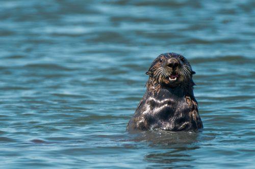 California Sea Otter Moss Landing Elkhorn Slough