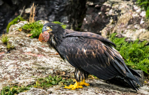 Alaskan Wildlife Photography Immature Bald Eagle with Abalone Shell