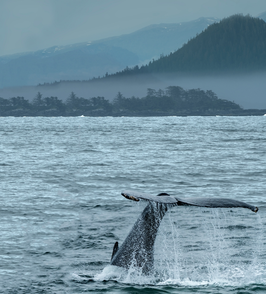 Alaskan Wildlife Photography Humpback Whale Tail