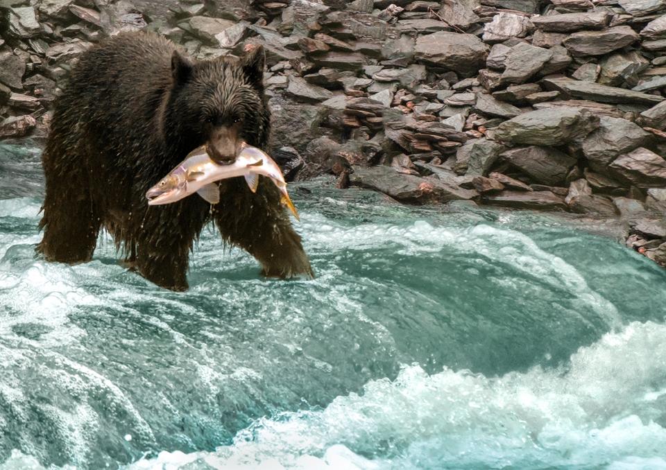 Alaskan Wildlife Photography Bear with Salmon