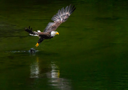 Alaskan Wildlife Photography Bald Eagle