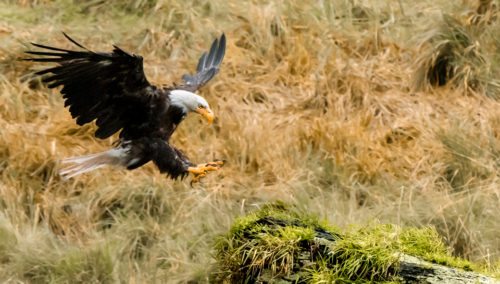 Alaskan Wildlife Photography Bald Eagle