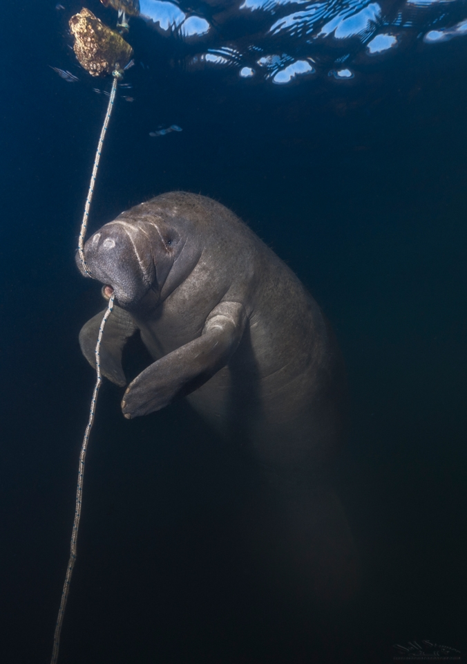 Manatee Photography Firefall Photography Jeff Stamer