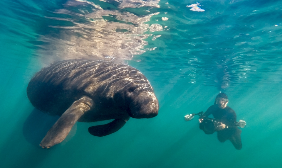 Underwater photographer and manatee