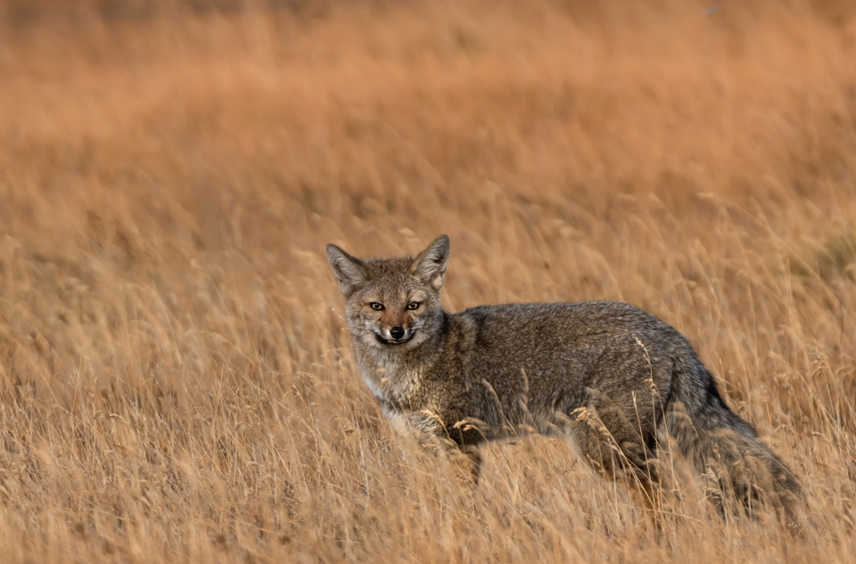 "Foxy Lady"" Photographing the South American Grey Fox in Patagonia."