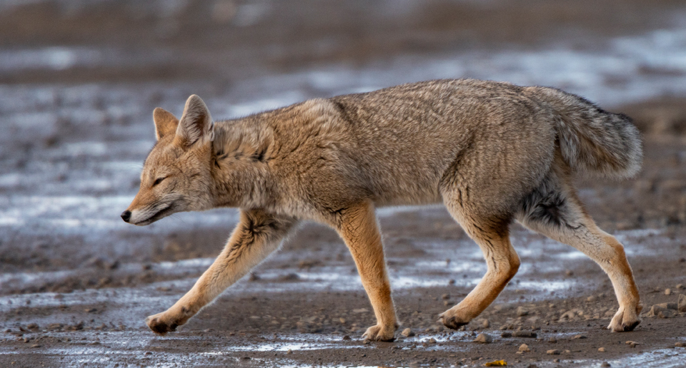 Foxy Lady: Photographing the South American Grey Fox