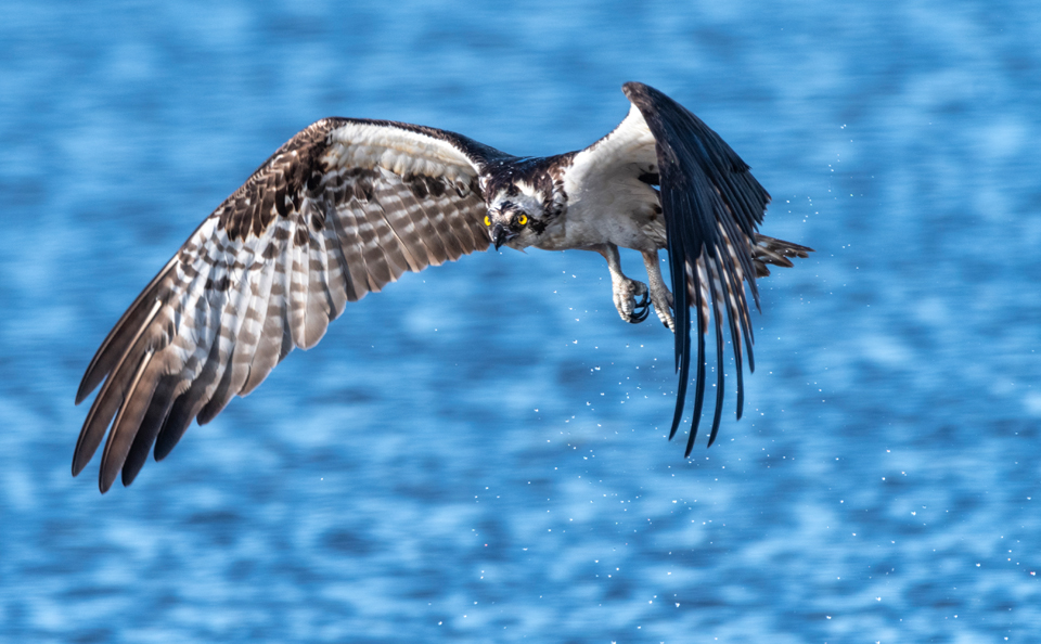 Third Time's a Charm Osprey catching fish at Lake Apopka Wildlife Drive
