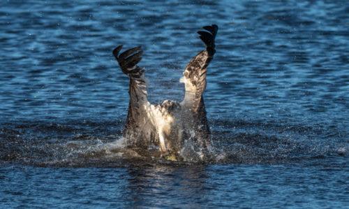 Third Time's a Charm Osprey catching fish at Lake Apopka Wildlife Drive