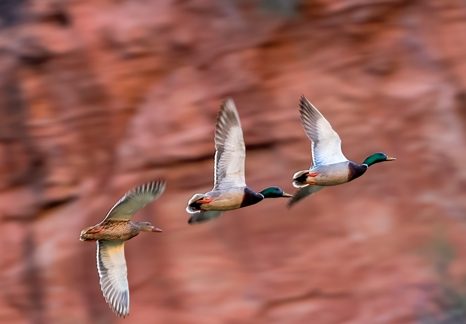 Mallard Ducks at Lower Calf Creek Falls